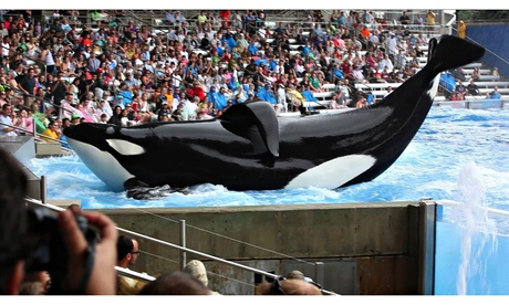 Tilikum the orca at Seaworld