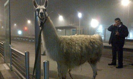 Serge the llama was eventually tied to a pole at a tram station