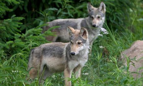 Star-crossed wolves produce litter of seven