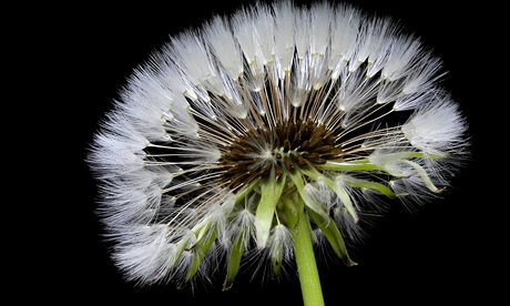A dandelion seed head: the plant has dozens of uses.  Photograph: AP Photo/Gerry Broome
