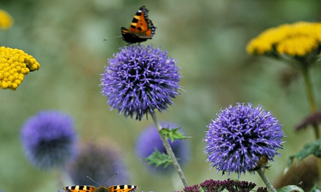 An echinops plant attracts a butterfly.