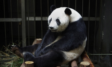 Giant panda Ai Hin put on a 'phantom pregnancy', possibly because she wanted special treatment, her Chinese keepers say.