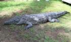 Pancho the crocodile