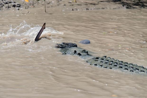 Bull Shark Vs Crocodile Crocodile shark struggle