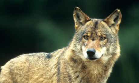 Incredible journey: one wolf's migration across Europe