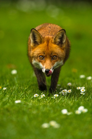 WildPix Young People's Award 12-18s winner Joshua Burch On the Prowl, Fox, South London, England (16yrs).