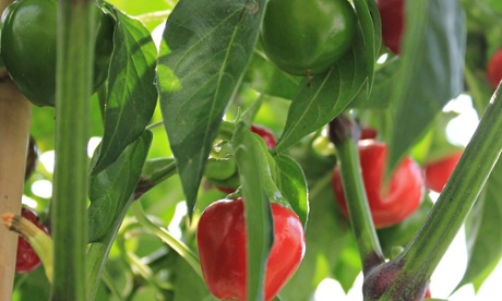Chillies are among self-pollinating plants that make it easy to save seeds