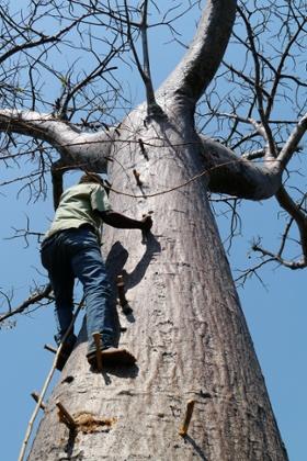 Scaling a baobab tree