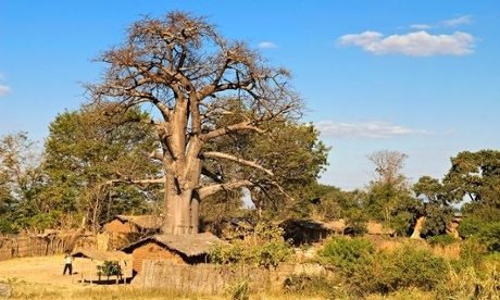Baobab, the 'superfruit' that hails from humble roots in Malawi – in pictures