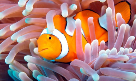 Young 'Nemo' clownfish roam further than thought, study shows