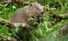Photograph taken as part of documenting the Devon Beaver Project for Devon Wildlife Trust