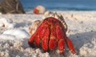 A hermit crab emerges from its shell at Howland Island National Wildlife Refuge in the Pacific Ocean