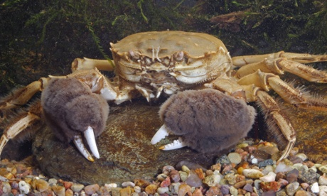 Remains of a Chinese mitten crab (Eriocheir sinensis) were found north of the border for the first time.