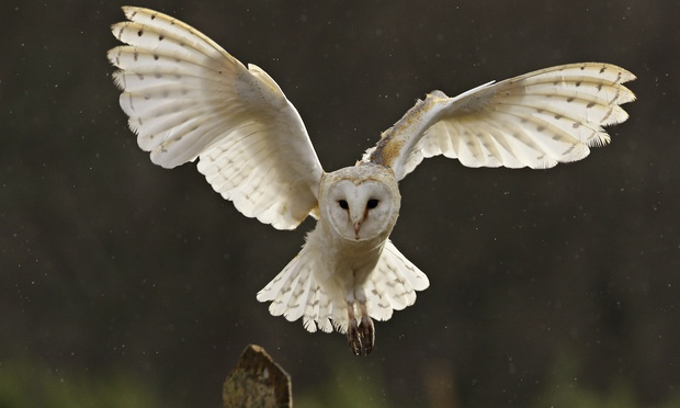 Barn Owl Taking Off Operation Owl boxes help save