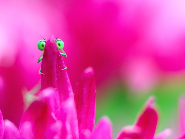 A green-eyed damselfly peeks out from behind pink flower petals