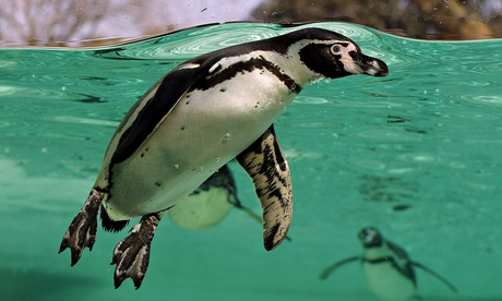 Penguin swimming London Zoo