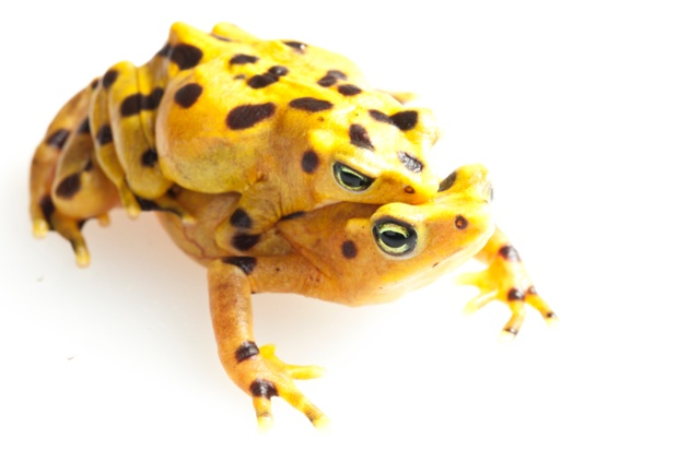 The beautiful and enigmatic harlequin frogs - of which there are around 120 known species - have been hardest hit by the global decline and extinction of amphibians worldwide, with many, such as these Panamanian Golden Frogs (Atelopus zeteki), disappearing from the wild
