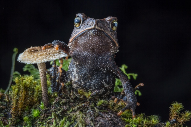 Cuchumatan Golden Toad, Incilius aurarius, from the Cuchumatanes mountains of Guatemala. The toad, only discovered and described as recently as 2012, was photographed during a recent search for the lost Jackson's Climbing Salamander.