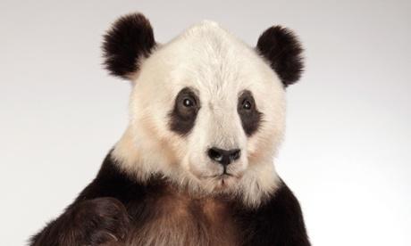 Yan Yan, constipated panda, back from the dead