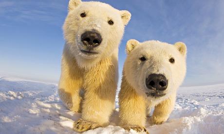 Polar bears migrate north as rising temperatures hasten Arctic ice melt