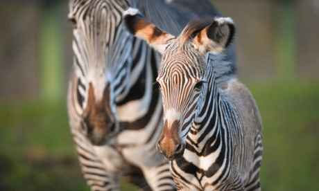 Zebra stripes are not black and white