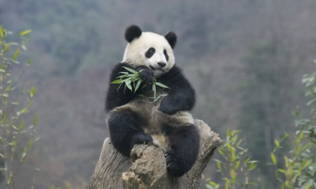 How many giant pandas are there?