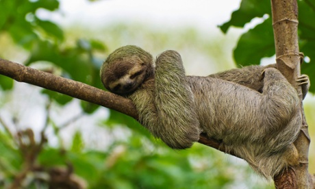 A sloth takes it easy.