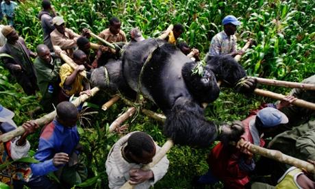 Brent Stirton's best photograph – Congo wildlife rangers carry a dead silverback