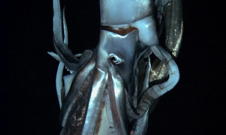 Giant squid writ small: juvenile monsters of the deep captured off Japan