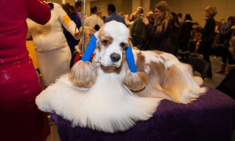 Behind the scenes at the Westminster dog show – in pictures