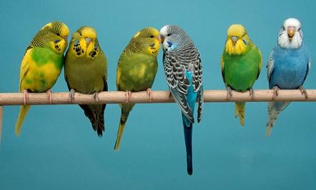 Why do pet parrots mimic people?