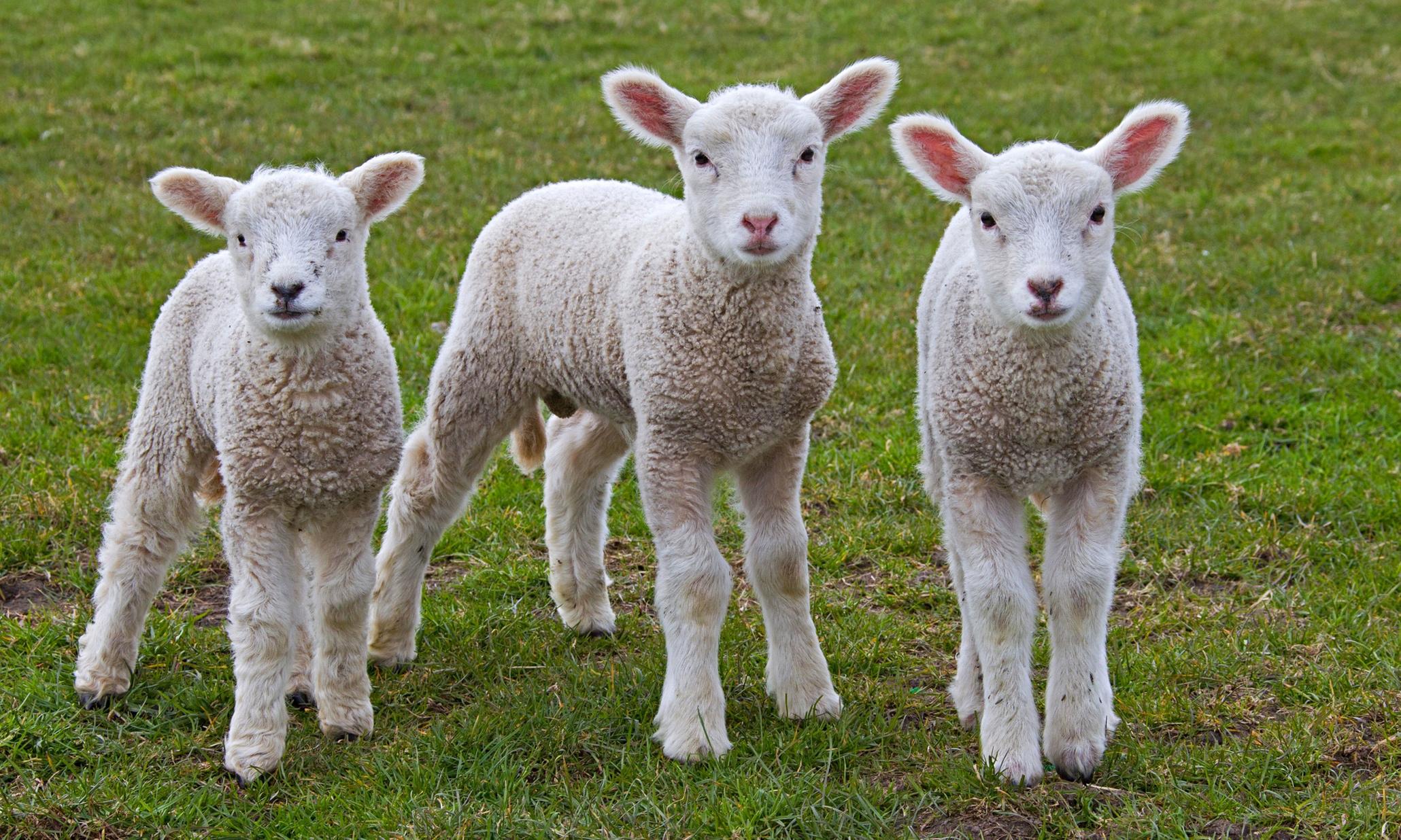 Three sheep - photo#2