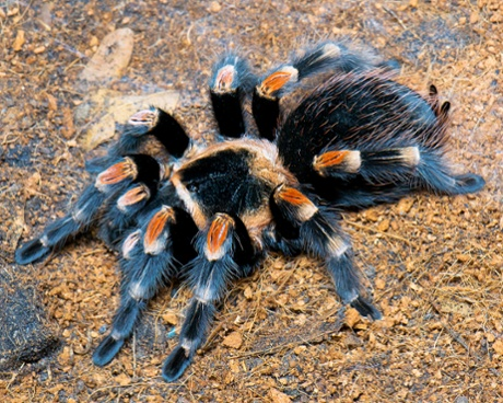 Meet the Mexican red knee tarantula at Amazona Zoo.