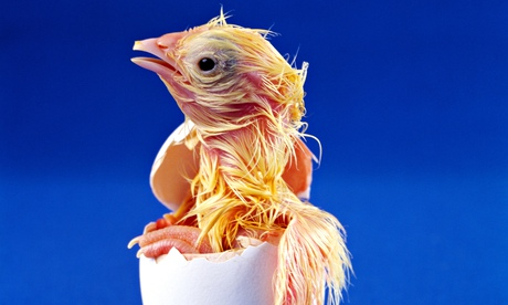 How does a chick breathe in the egg?