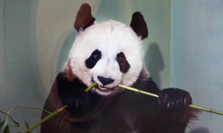 Mating time for UK's giant pandas, with a little help from the vets
