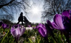 Crocuses bloom in Deptford Park, London as a silhouetted woman pushes a pram in the background