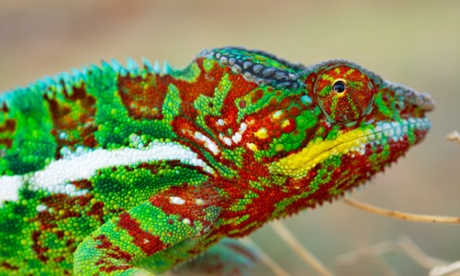 Zoology Notes 004: Chameleons contain crystals