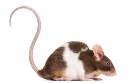 Squeaky serenade: male mice woo females with song, scientists discover