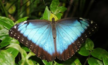 Birth of the blue morphos