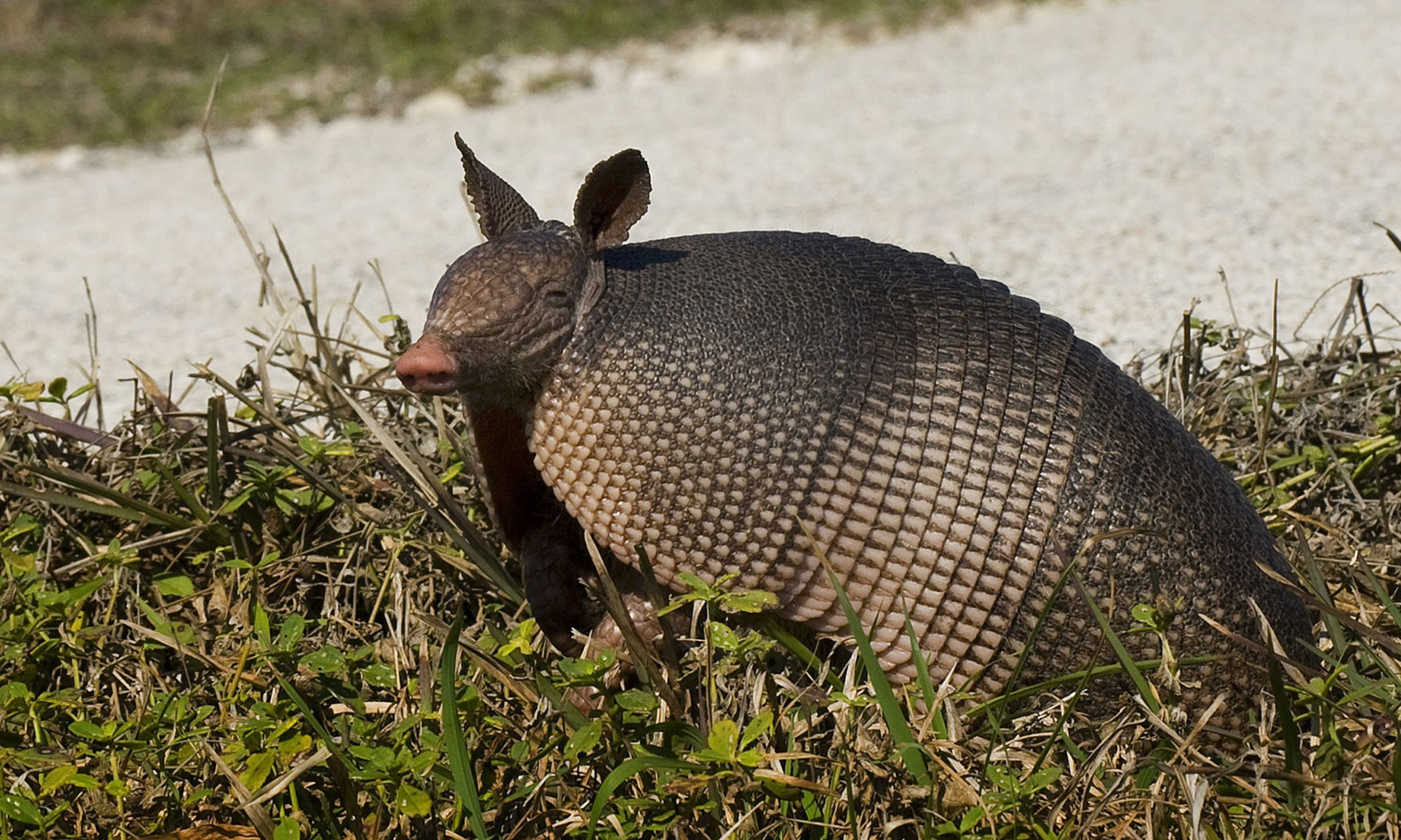 Georgia man wounds mother-in-law after bullet ricochets off armadillo