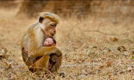 Monkey Kingdom review – Tina Fey narrates tale of two simians