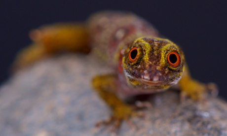Space geckos show their playful side on zero-gravity mission