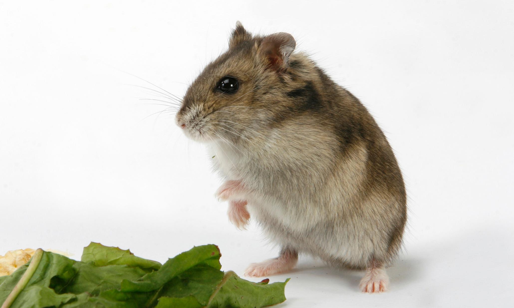 Adult dwarf hamster porn movies