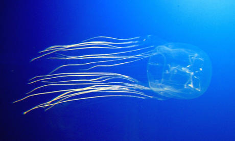 Zoology Notes 005: The jellyfish that sleeps