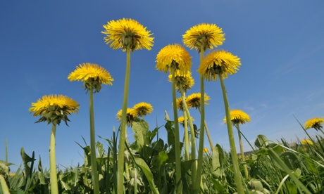 Let dandelions grow. Bees, beetles and birds need them