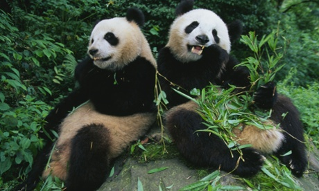 Hard to bear: pandas poorly adapted for digesting bamboo, scientists find