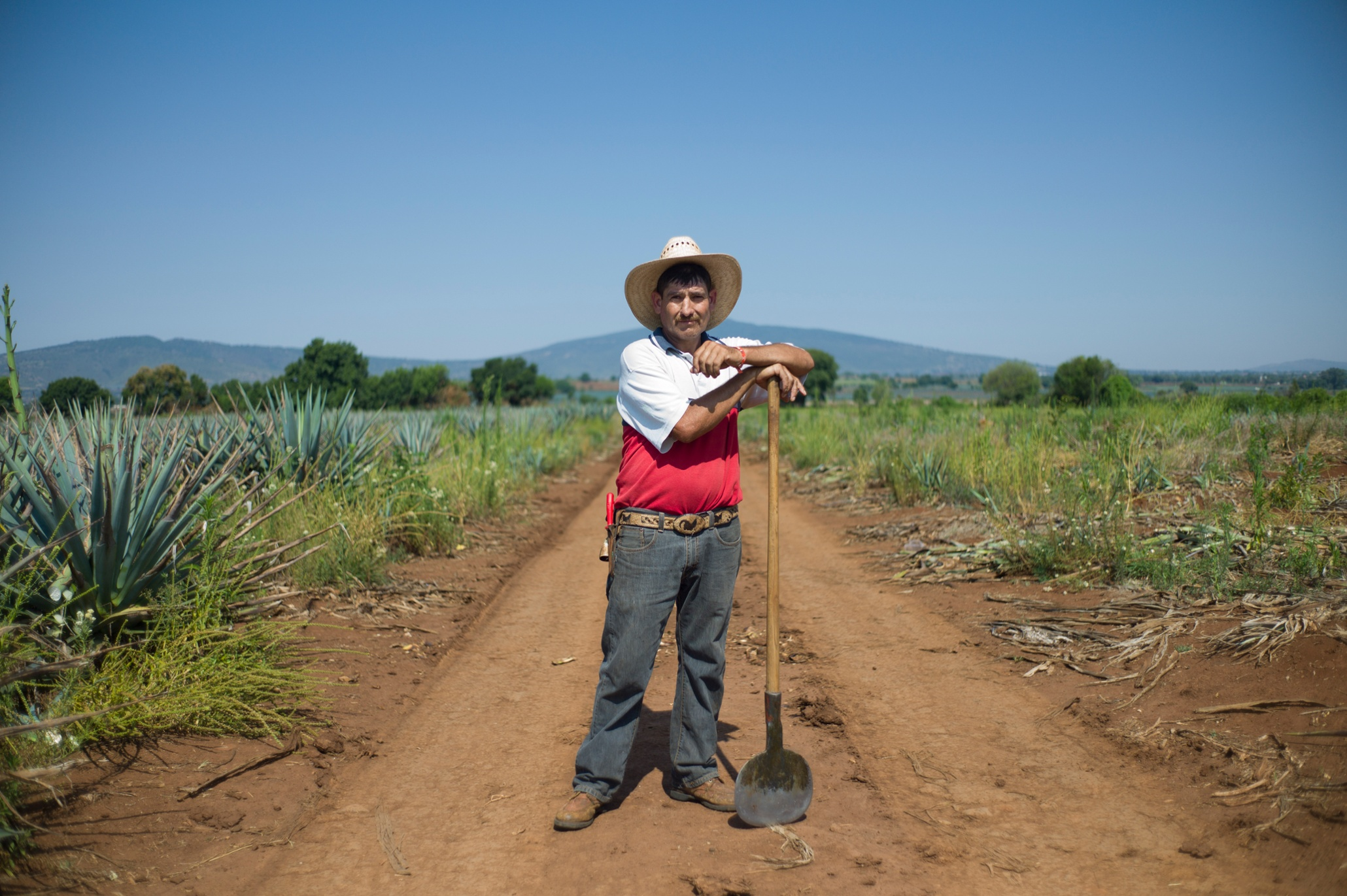 Mexican tequila harvest - in pictures