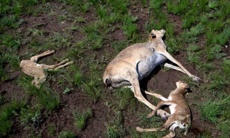 134,000 saiga antelope dead in two weeks. What is the probable cause?