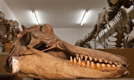 Greedy killer whale eats 27 porpoises and seals
