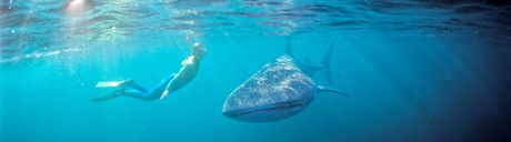 A whale shark off the Ningaloo Reef.